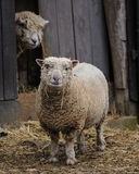 Two cute sheep Stock Photography