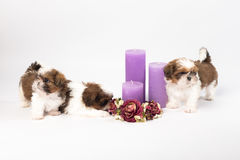 Two cute shih-tzu puppies with holliday candles. Isolated on the white background Royalty Free Stock Photography