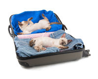 Two cute Siamese kittens lounging in a packed up suitcase. Ready to go on a trip; on white background royalty free stock images