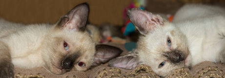 Two cute Siamese kittens resting on a blanket Royalty Free Stock Images
