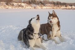 Two cute siberian husky dogs howls on snow. royalty free stock image