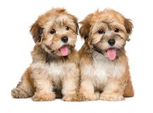 Two cute sitting havanese puppies. Isolated on white background royalty free stock photos