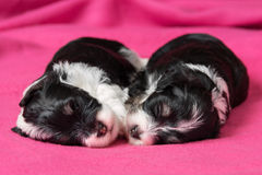 Two cute sleeping havanese puppies dog on a pink bedspread Stock Photos