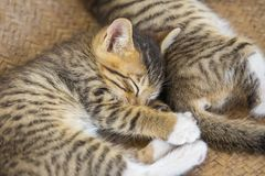 Two cute small kitten stock image
