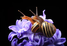 Two cute snails on blue hyacinth Royalty Free Stock Photo