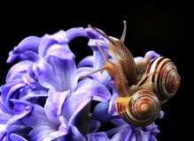 Two cute snails on blue hyacinth Stock Images