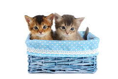 Two cute somali kittens isolated on white background. Two somali kittens in blue basket isolated on white background Royalty Free Stock Images