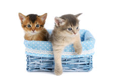 Two cute somali kittens isolated on white background. Two somali kittens in blue basket isolated on white background stock image