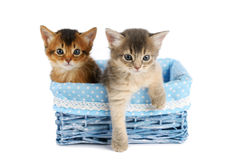 Two cute somali kittens isolated on white background. Two somali kittens in blue basket isolated on white background royalty free stock photography