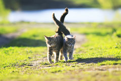 Two cute striped kitten walking on grass next to and caress on a. Two cute kitten walking on green grass next to and caress on a summer day Royalty Free Stock Photos