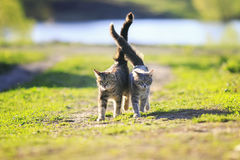 Two cute striped kitten walking together in an embrace on a gree Stock Images