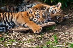 Two cute  sumatran tiger cubs playing. On the forest floor Royalty Free Stock Photo