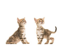 Two cute tabby turkish angora baby cats standing next to each other both looking up stock photo