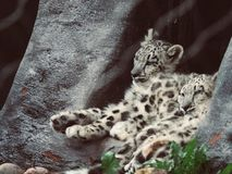 Two cute teenager snow leopard sitting and sleeping next to each other stock photo