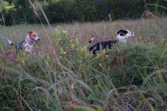 Two cute terriers playing. In a tall grass Stock Photos