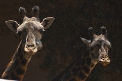 Two cute West African Giraffes look at camera - Los Angeles Zoo stock images