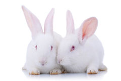 Two cute white baby rabbits. Stock Images
