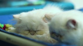 Two cute white cats sleeping. Stock footage stock footage