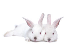 Two cute white isolated baby rabbits Stock Photos