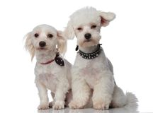 Two cute white bichons wearing funny collars Royalty Free Stock Image