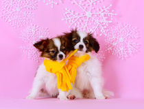 Two cute white puppy. Dogs breed Phalen. Puppies in yellow scarves. Winter story. Nova Year and Christmas. Holiday card royalty free stock photo