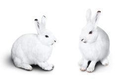 Two cute white rabbit Royalty Free Stock Photos