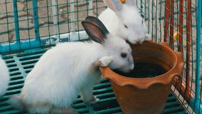Two cute white rabbits drink water from brown clay pot in a cage. Two cute white rabbits drink water from a brown clay pot in a cage stock footage