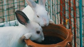 Two cute white rabbits drink water from brown clay pot in a cage. Two cute white rabbits drink water from a brown clay pot in a cage stock video footage