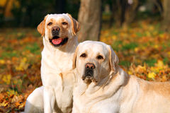 Free Two Cute Yellow Labradors In The Park In Autumn Close Up Royalty Free Stock Image - 81475476