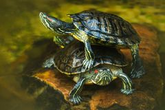 Two cute yellow turtles in the water stock images