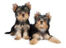 Two Yorkie Puppies Stock Photography - Image: 26484792