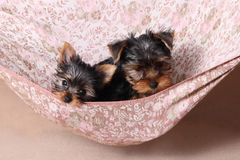 Two cute Yorkshire Terrier puppy in a beige hammock Royalty Free Stock Photography