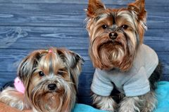 Two cute yorkshire terriers on the plaids. Stock Images