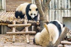 Two cute young giant pandas. Amazing panda bears. Wild animals.  royalty free stock photo