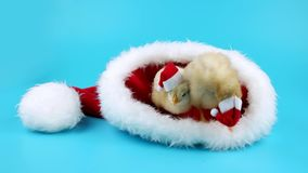 Two cute young roosters relaxing in big red Santa Claus hat stock video