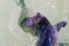 Two cute young seals swimming and playing in water Royalty Free Stock Photos