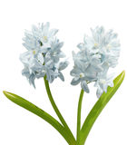 Two cyacinth striped squill Stock Photo
