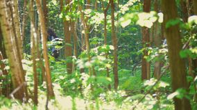 Two cyclists make their way through the branches in the green forest on a Sunny day. Telephoto shot stock footage