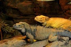 Two Cyclura cornuta iguanas at a ZOO royalty free stock photo