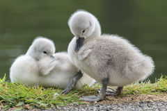 Two Cygnet. S beside the boating pond at Southampton Common Stock Photos