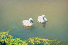 Two Cygnet Mute Swans in a Lake Stock Images