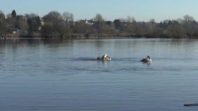 Two Cygnet Swans preening stock video