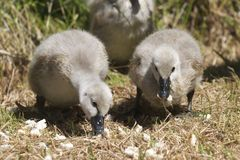 Two Cygnets Royalty Free Stock Images