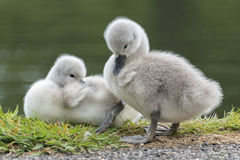 Two cygnets. Beside the boating pond at Southampton Common Royalty Free Stock Images