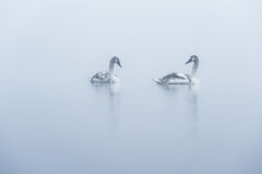 Two Cygnets of a Misty Lake Stock Photos