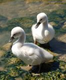 Two Cygnets on the Riverside Stock Images