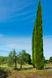 Two Cypress Stock Photo