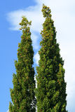 Two cypress Royalty Free Stock Image