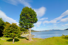 Two cypress in patagonia. Tierra del Fuego royalty free stock images