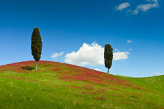 Two cypresses Royalty Free Stock Image